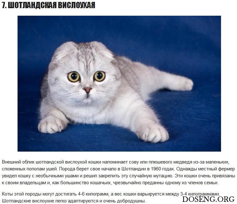 Шотландская вислоухая кошка: описание породы от а до я. фото, интересные факты, цена котят, внешний вид и особенности содержания