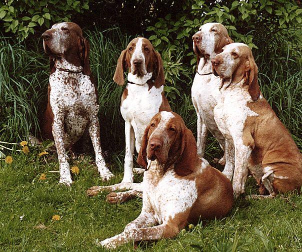 Грюнендаль: стандарт бельгийской овчарки, особенности ухода за породой, ее содержания и разведения, выбор щенков, фото и отзывы о собаке