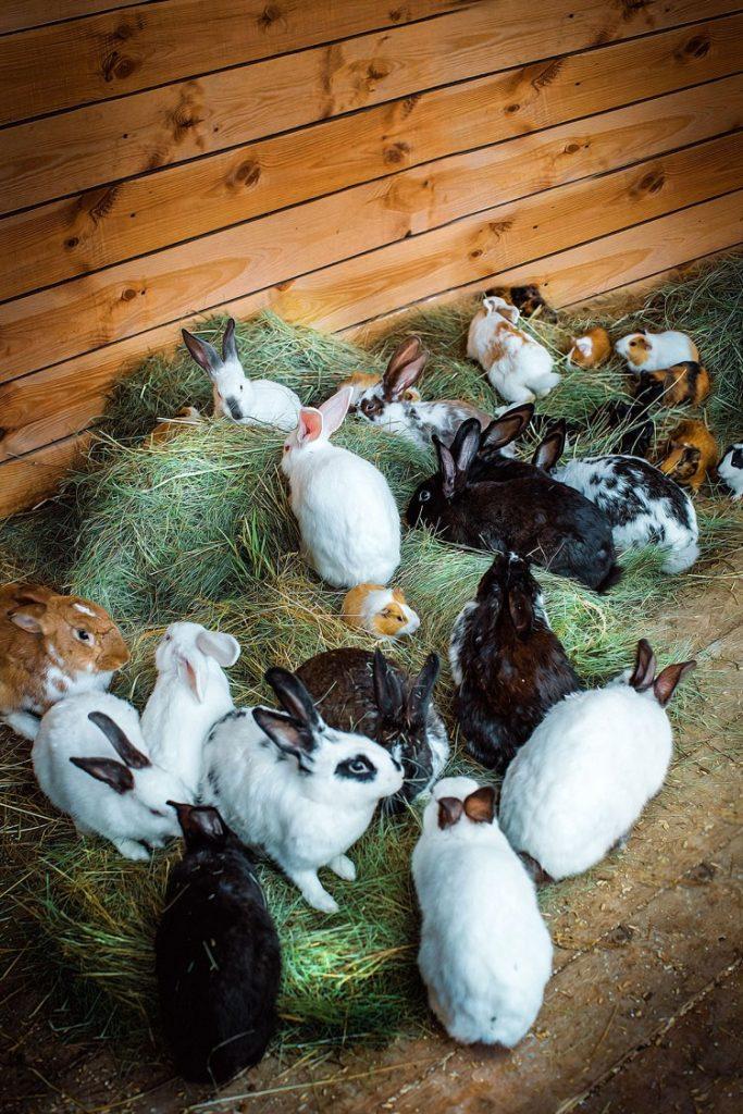 Разведение и содержание кроликов в домашних условиях: кролиководство для начинающих