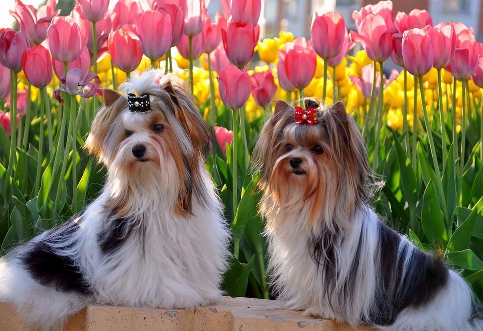 Бивер йоркширский терьер: описание породы, фото, цена, отличия, чем отличается от йоркширского терьера, какая разница, собака, характер, отличие от йорка, чем кормить