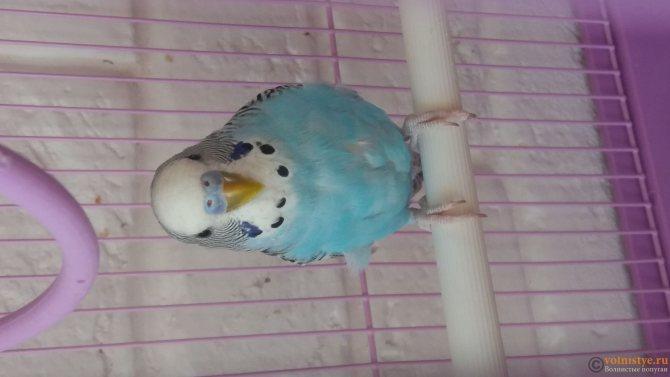 Волнистый попугай кого выбрать самца или самку