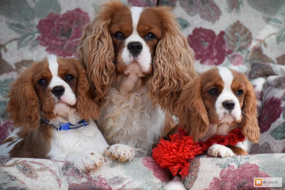 Порода собак кавалер-кинг-чарльз-спаниель: верный друг королей иобычных людей