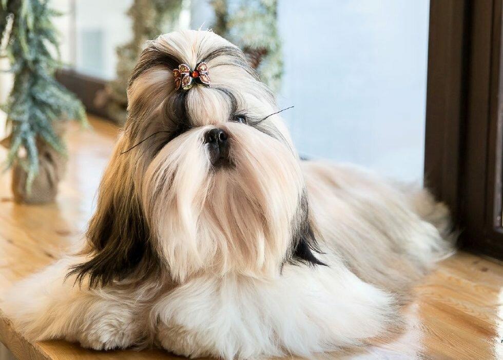 Ши-тцу. собака китайских императоров и тибетского далай-ламы