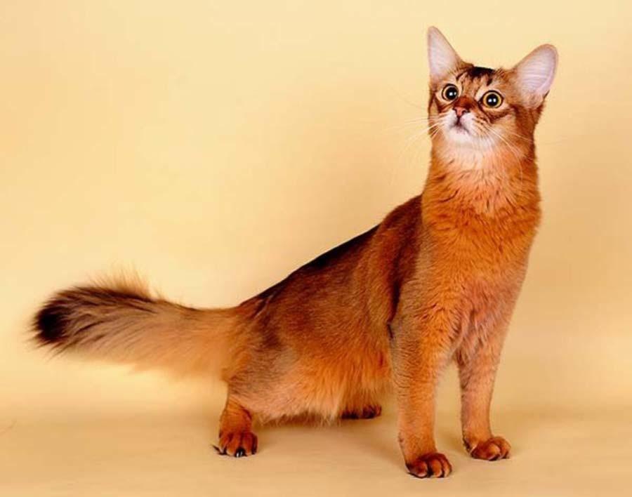 Сомалийская порода кошек (сомали): фото, описание характера, стандарты, окрасы, отзывы