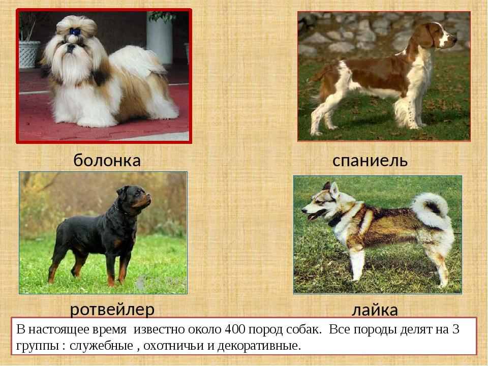 Русская цветная болонка
