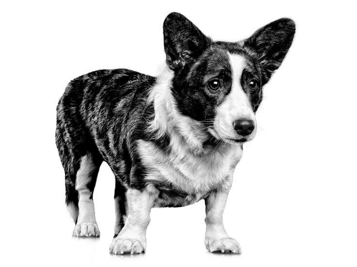 Собаки вельш-корги: описание породы, характер, фото, где купить