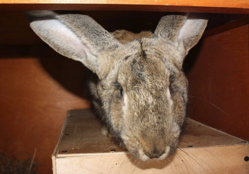 Описание и особенности кроликов породы фландр: содержание, достоинства и недостатки, отзывы