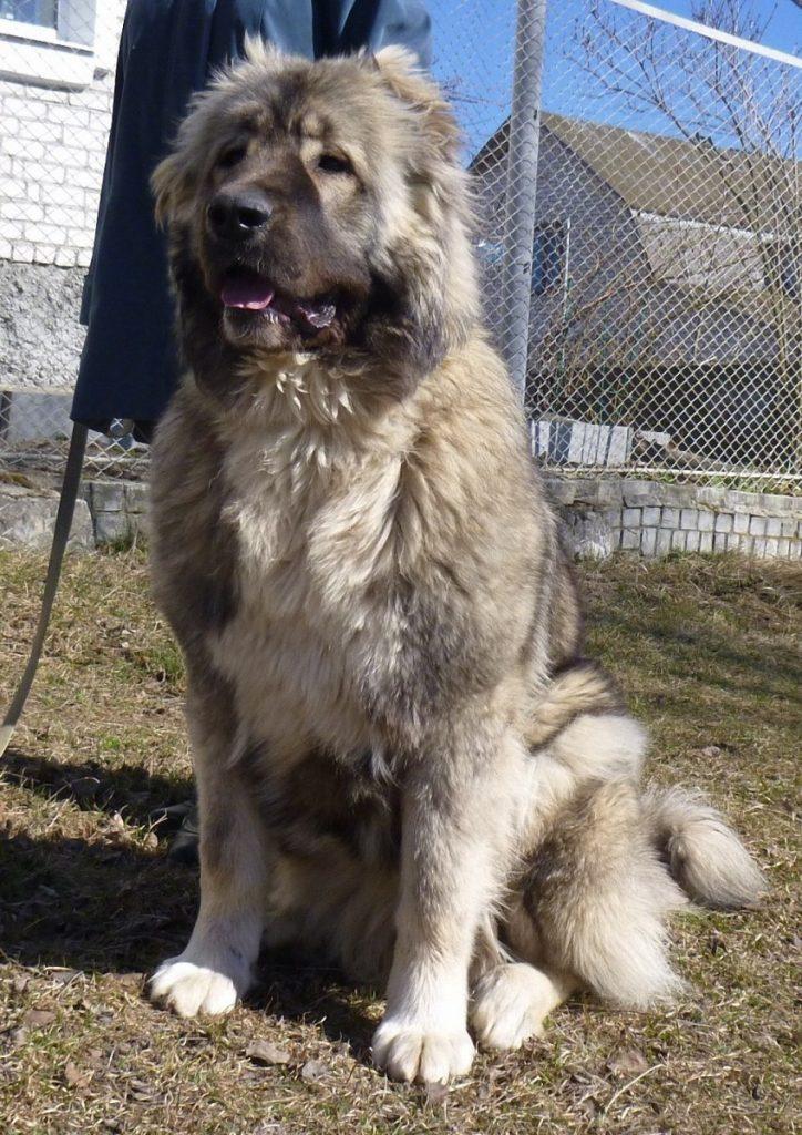 Кавказская овчарка (кавказский волкодав): фото, характер, размеры, вес, содержание, фото щенков, особенности