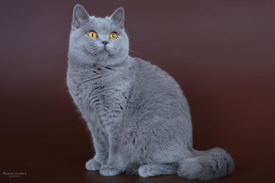 Табби окрас британцев: мраморный (мрамор), полосатый (тигровый), пятнистый - фото, стандарт окраса. табби (тэбби) британские кошки, коты, котята: (пятно, полоса, мрамор). британцы табби: британские котята, коты, кошки.