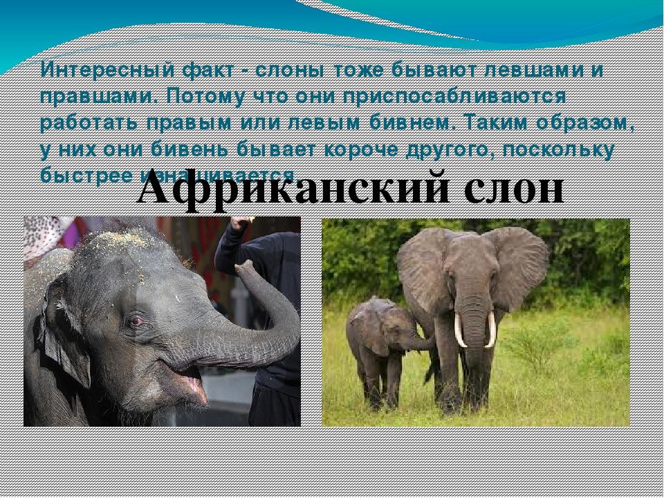 Где обитают слоны, как они выглядят, сколько весят и что едят