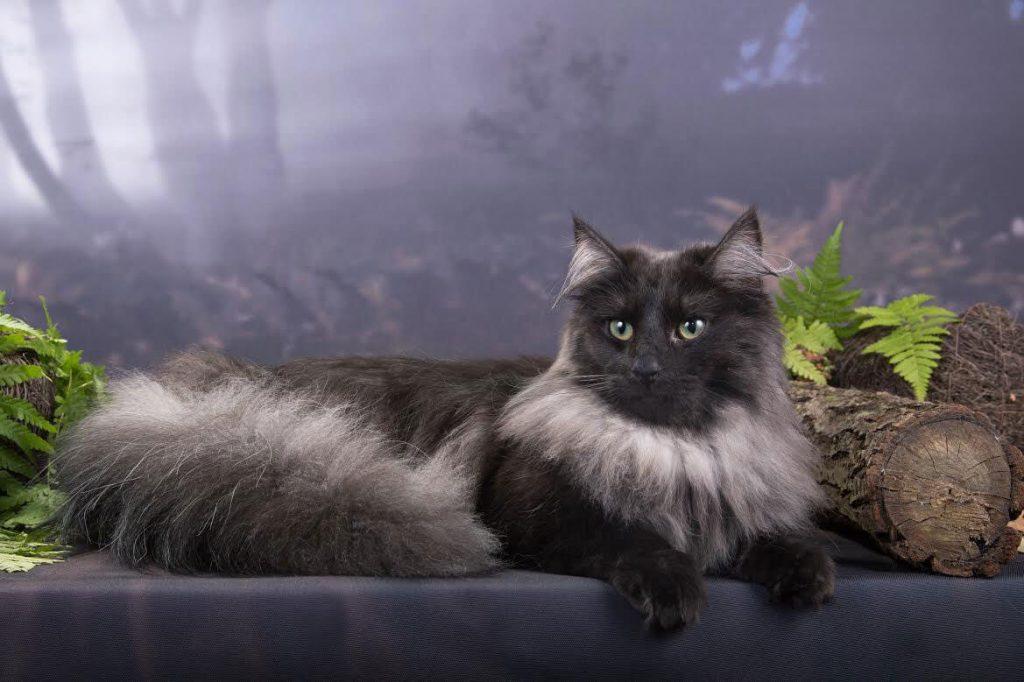 Норвежская лесная кошка: все о кошке, фото, описание породы, характер, цена