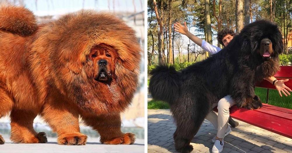 Top 5 самых дорогих пород собак в мире