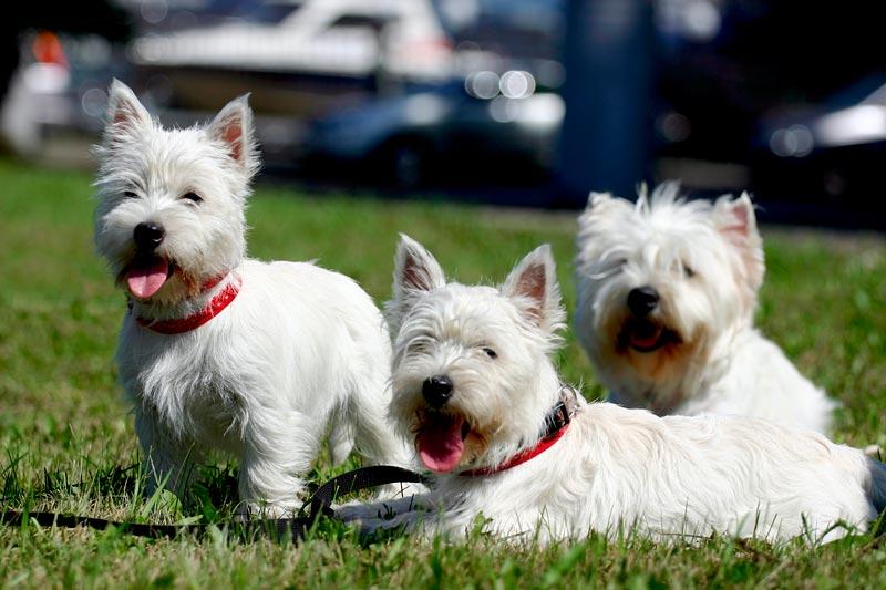 Вест-хайленд-уайт-терьер - порода собак - информация и особенностях   хиллс