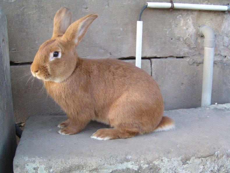 Бургундская порода кроликов: описание и характеристика
