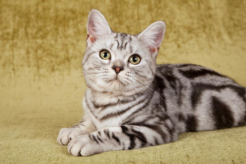 Американская жесткошёрстная кошка: случайное появление уникальной породы: фото, описание, окрас, характер, правила ухода и содержания, история происхождения   for-pet