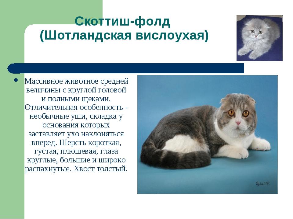 Британская кошка: описание породы, характер, особенности ухода  - mimer.ru