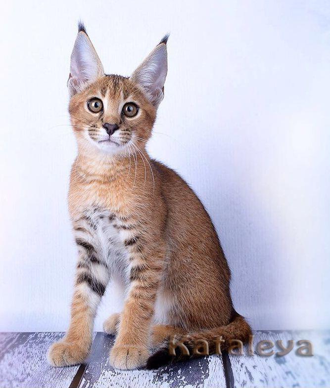 Кошка похожая на рысь: описание породы, фото, название