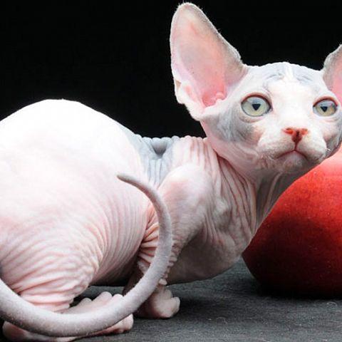 Кошка бамбино: характер и внешность питомца, содержание кота и уход за ним