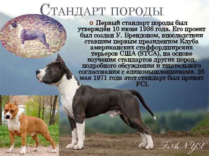 Бостон-терьер собака. описание, особенности, виды, цена и уход за породой | живность.ру