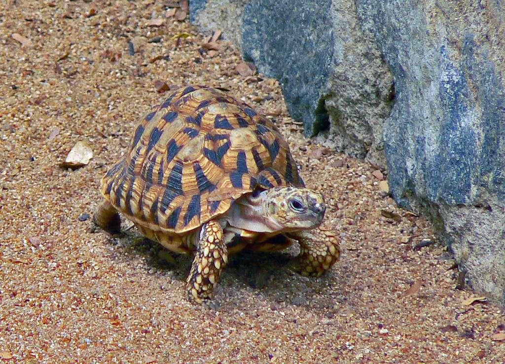 Geochelone elegans - индийская звездчатая черепаха