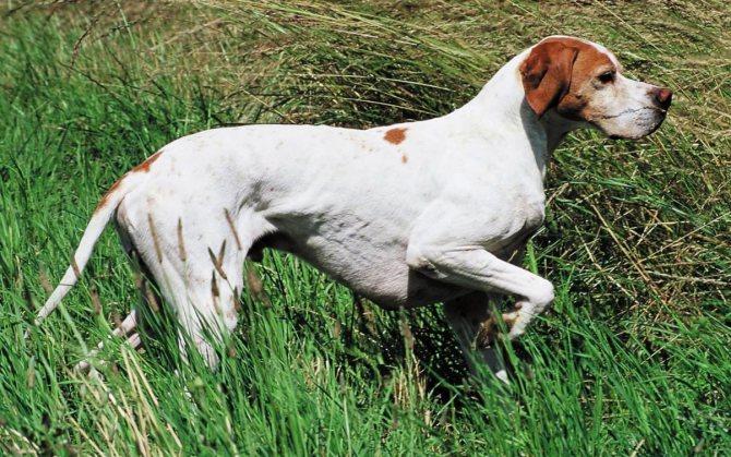 Английский пойнтер – фото собаки, описание характера пойнтера и характеристика породы