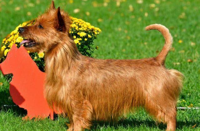 Австралийский шелковистый терьер: особенности и описание породы собаки, правила содержания и ухода, прочие аспекты с фото