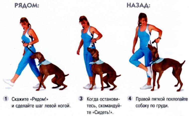 Как научить собаку командам: на курсах и в домашних условиях