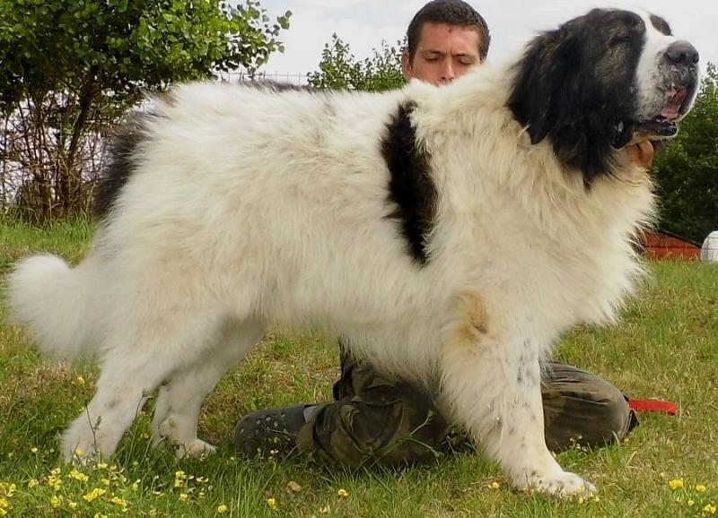 Пиренейский мастиф — фото, описание породы собак, особенности характера