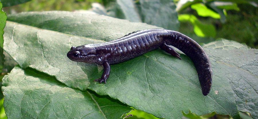 Сибирский углозуб = salamandrella keyserlingii