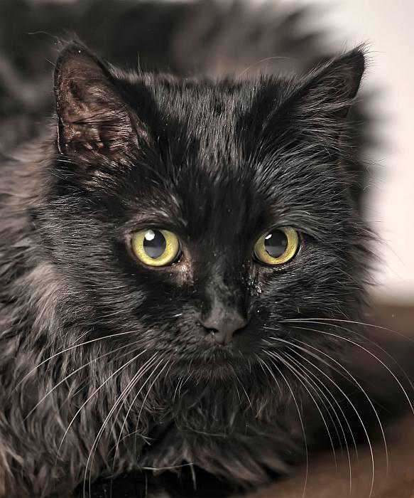Шантильи-тиффани — описание породы и характер кошки