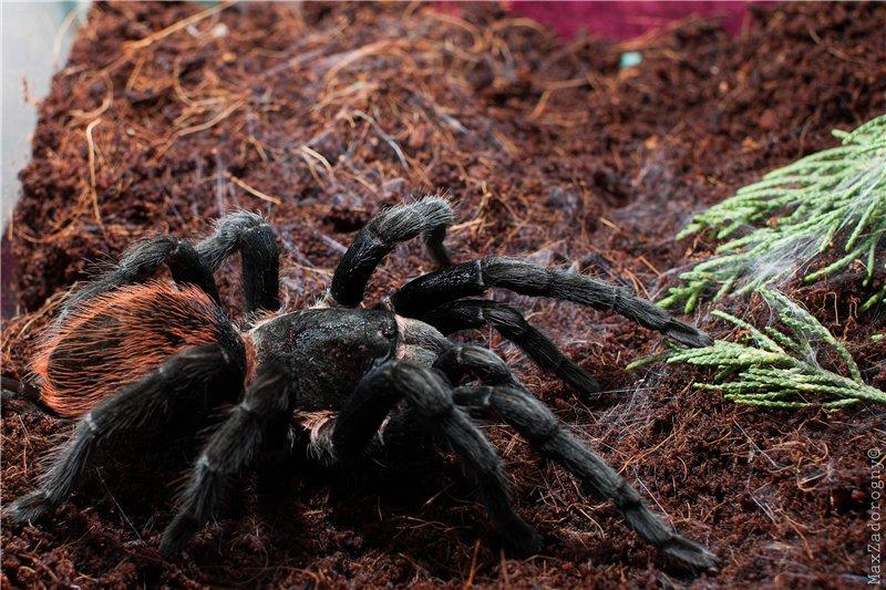 Чем характеризуется паук-птицеед брахипельма смити?