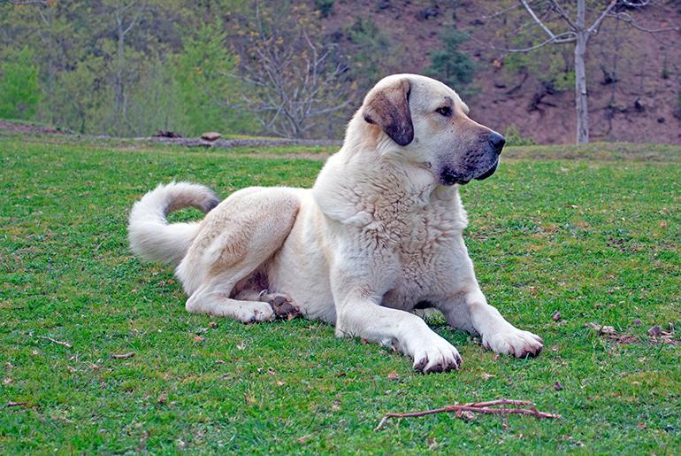 Турецкий кангал: описание породы, история турецкой пастушьей собаки кангал, характер и особенности содержания