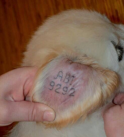 Как и чем заклеймить щенка