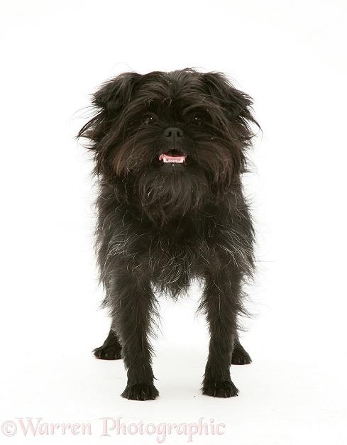 Аффенпинчер: описание породы, плохая сторона и хорошая, фото и цена, уход и характер собаки