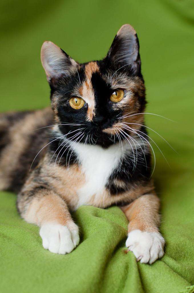 Трехцветная кошка (44 фото): у котят каких пород бывает черепаховый окрас шерсти? могут ли коты быть трехцветными? как назвать котенка?