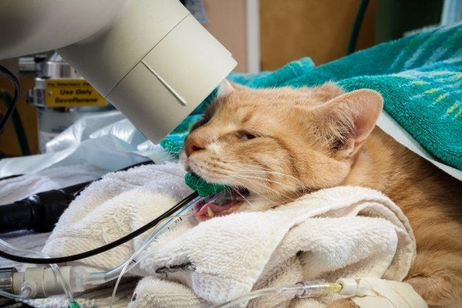 Болезни дыхательной системы кошек