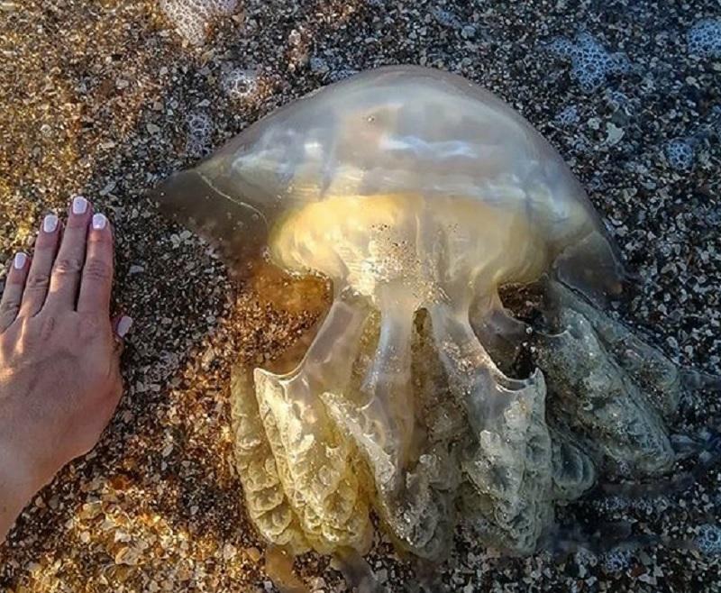 Медузы, обитающие в азовском море — фото, описание и опасны ли для человека   природа мира