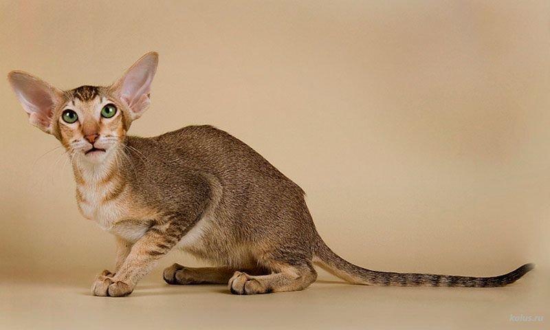 Виды и описание гипоаллергенных пород кошек