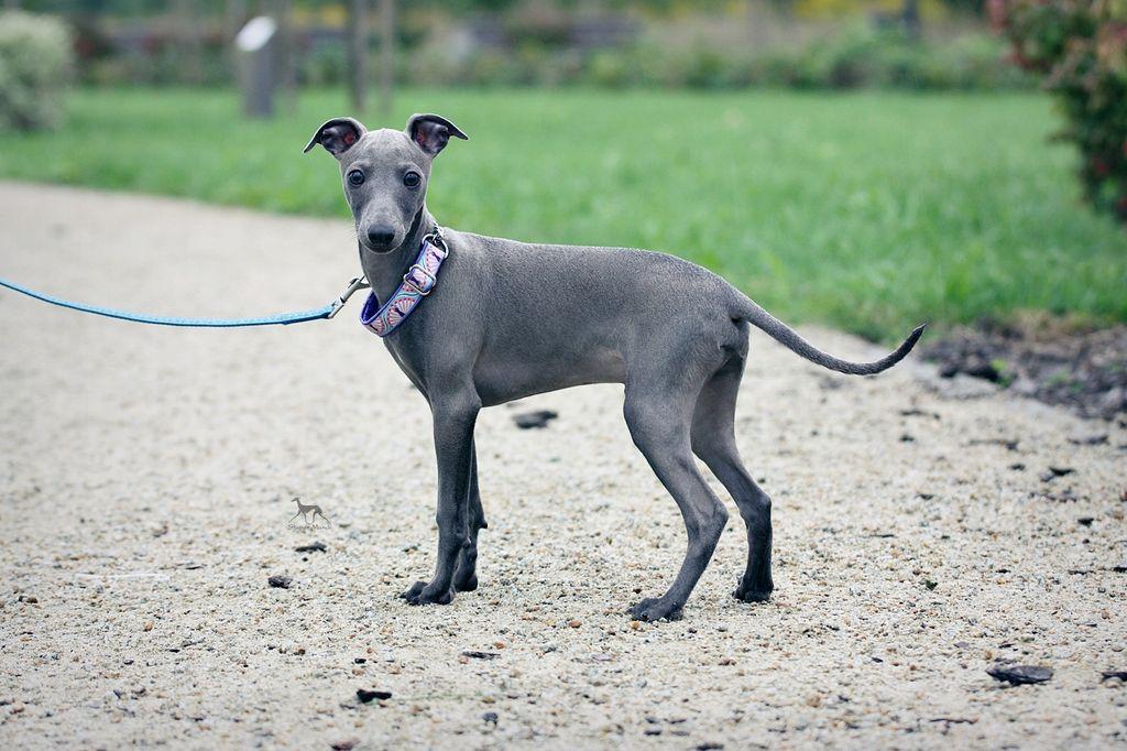 Левретка: фото и описание породы собак левретка: фото и описание породы собак