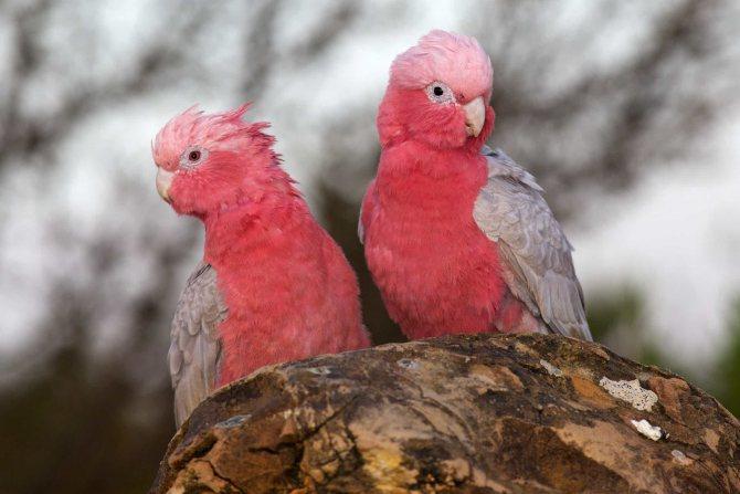 Розовый какаду, или гала | мир животных и растений
