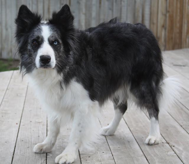 Описание собаки породы бордер-колли