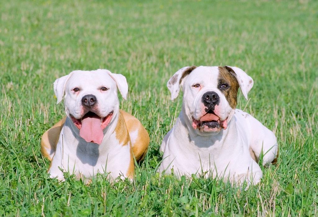 Американский бульдог - 100 фото очень уникальной породы собак
