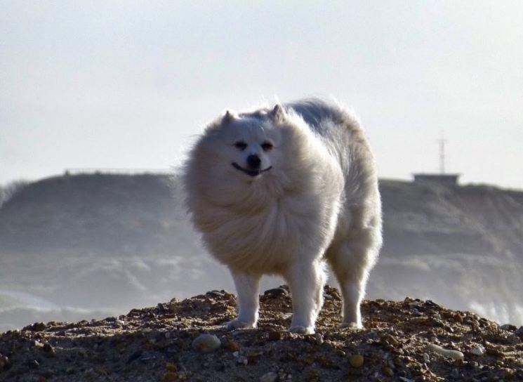 Американский эскимосский шпиц