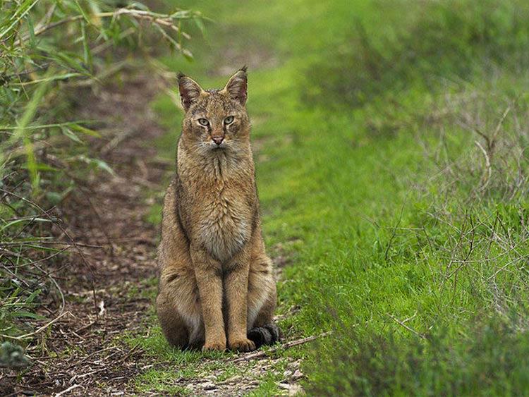 Камышовый кот в казахстане
