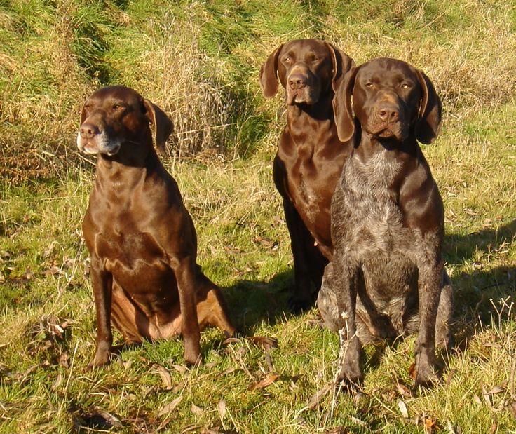 Описание великолепной породы охотничьих собак курцхаар