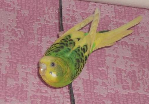 Волнистые попугаи: как приручить к рукам и сделать так, чтобы питомец перестал вас бояться?