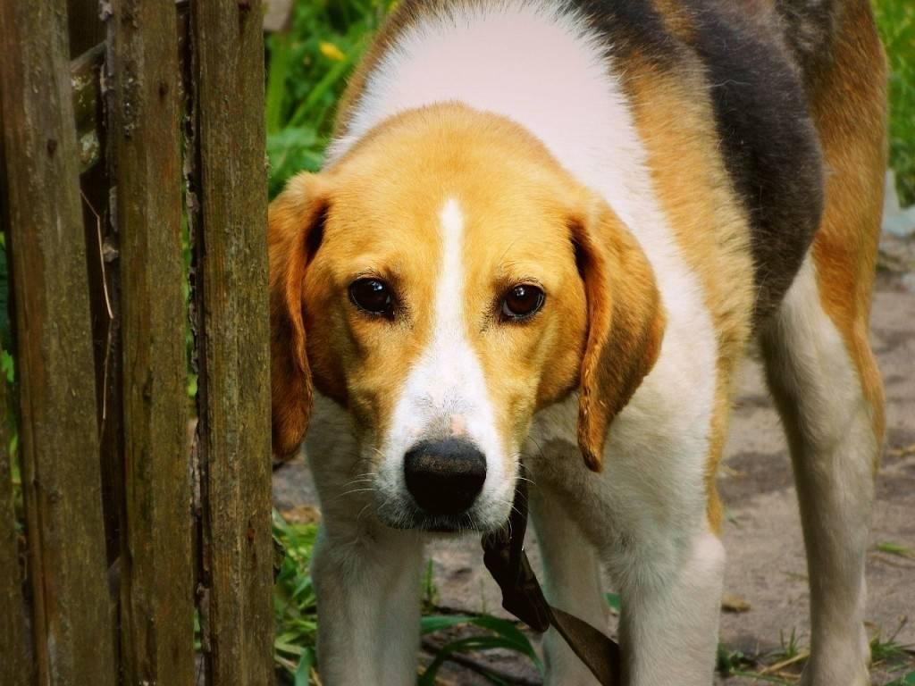 Эстонская гончая: все о собаке, фото, описание породы, характер, цена