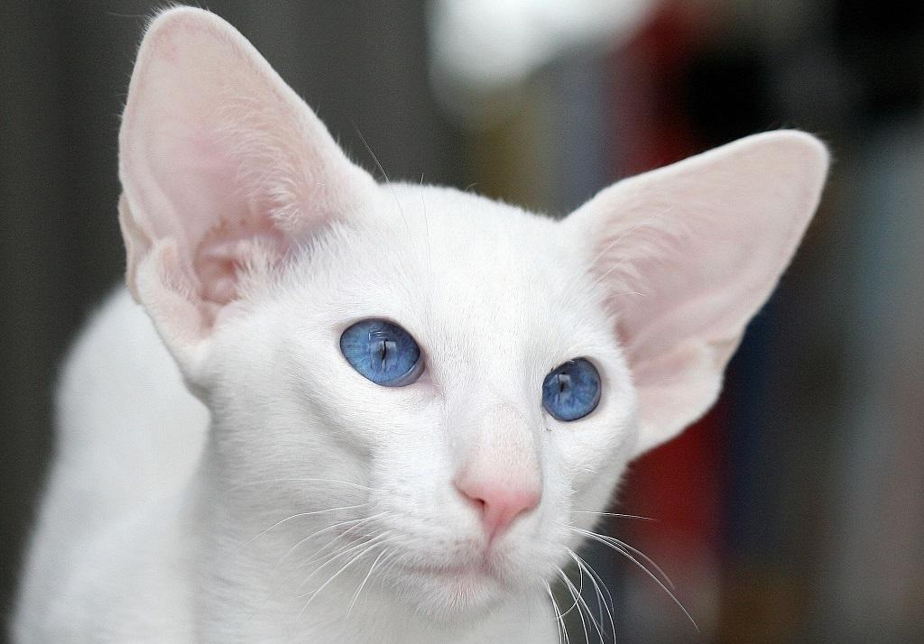 Кот альбинос и белая кошка с голубыми глазами – одно и то же или нет, правда ли, что все они глухие?