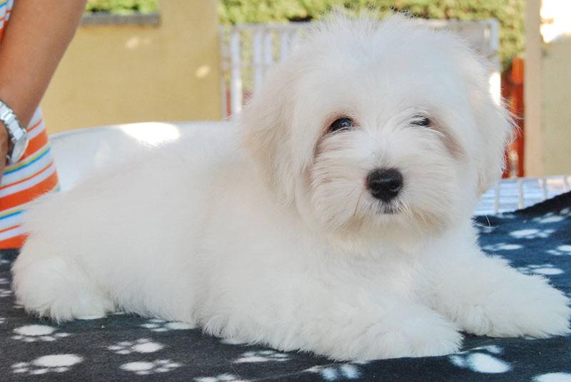 Котон де тулеар собака. описание, особенности, уход и цена породы | sobakagav.ru