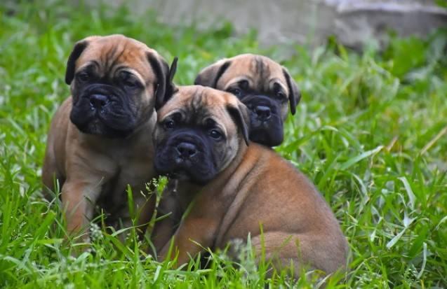 Бульмастиф: история, стандарт, характер и правила выбора щенка (+ фото)